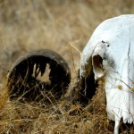 Cattle Skull, Gir