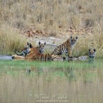 Jhurjhura Tigress with her cubs - A sad end of a beautiful creature