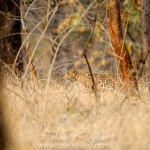 Leopard Stalking in Pench N.P.