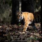 Bengal Tiger in spotlight