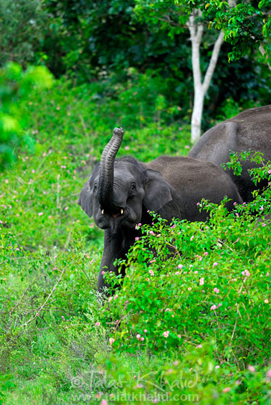 Image of Young Elephant Trunk Trumpeting