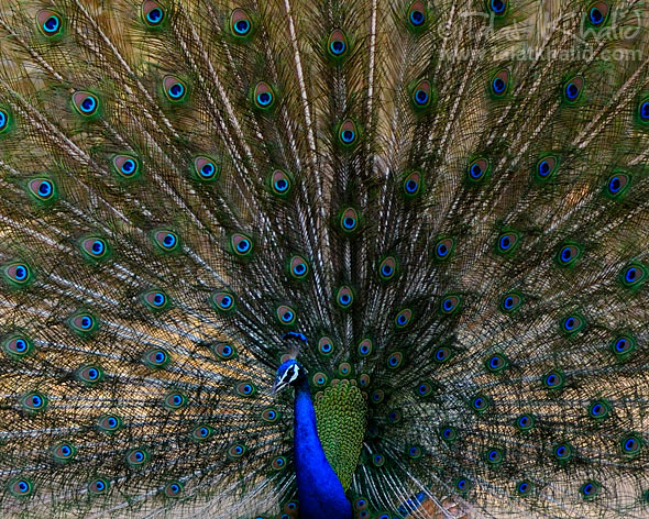 Peacock showing its features