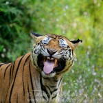 Tiger - flehmen behaviour