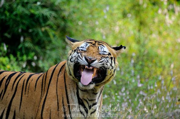 bengal tiger bokha flehmen bgarh