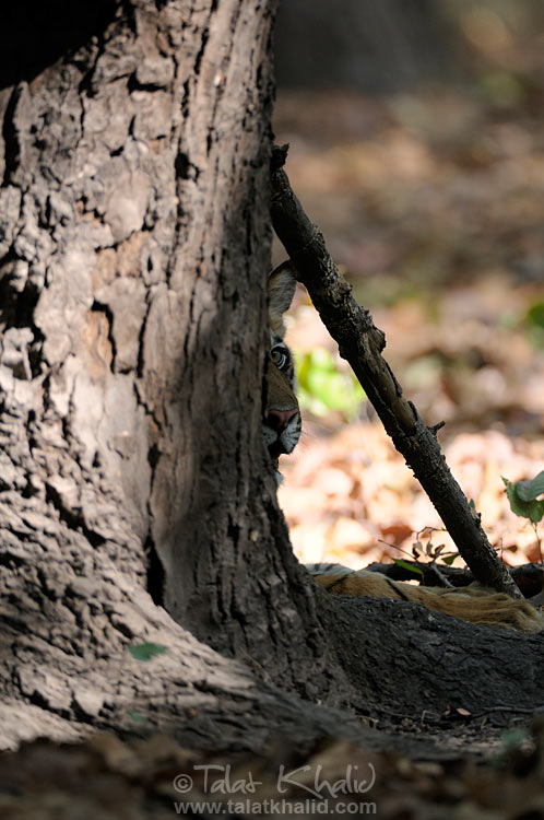 bengal tiger cub behind the tree