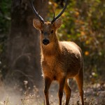 Barasingha in Golden Light