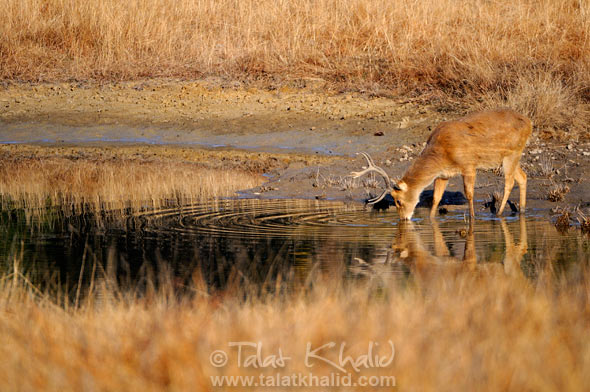 Barasingha drinking water & eating algae, kanha
