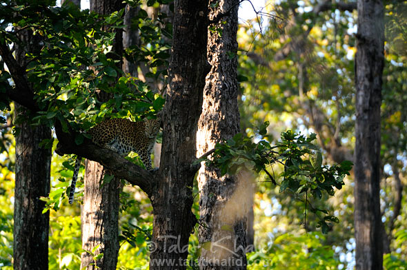 leopard on tree kanha landscape