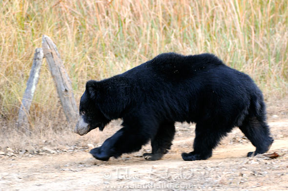 Sloth bear reech kanha