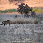 Glimpses of Kanha in January 2011