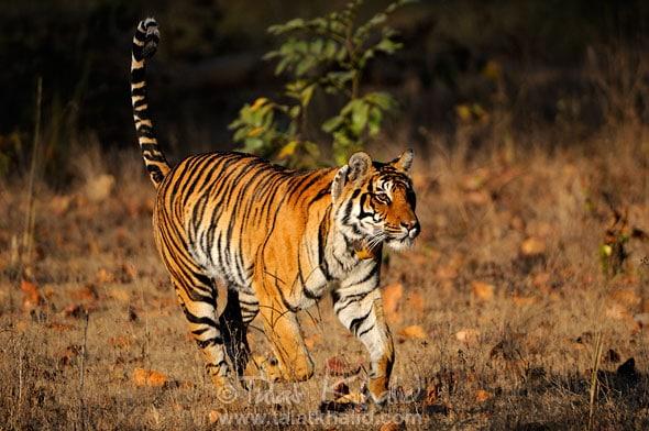Tigress Running