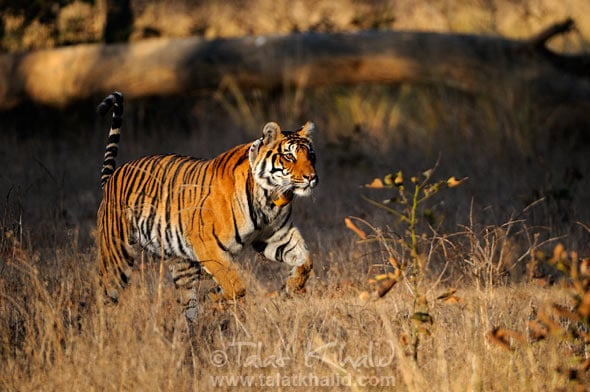 Tigress Leap kanha