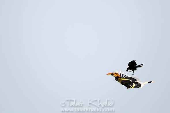 Great hornbill with rodent and crow behind it