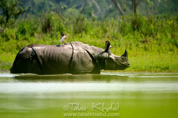 Rhino in water kaziranga