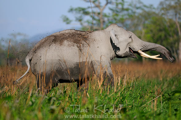 Elephant with mud in kaziranga