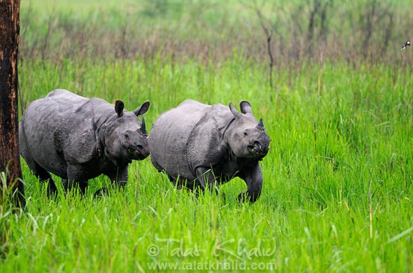 Dominant Rhino chasing competition