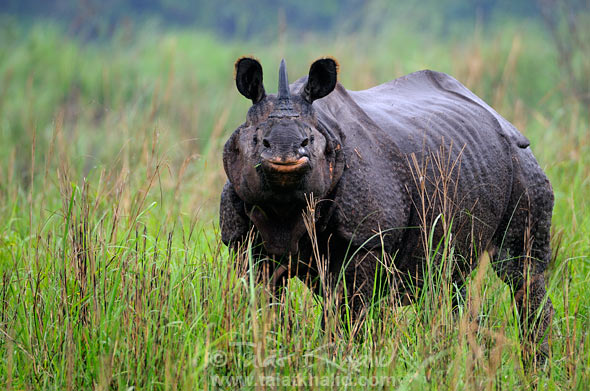 Rhino portrait in kaziranga