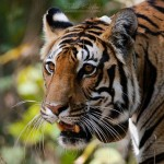 Tigress Closeup from kanha
