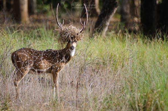 crowned spotted deer