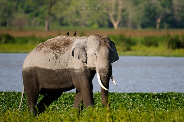 asiatic male elephant kaziranga