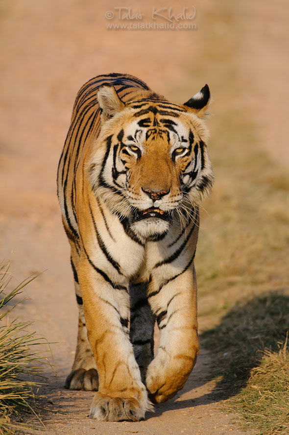 Munna male tiger of kanha