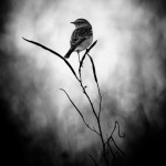 Monotone Bird