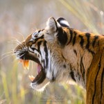 Snarling Tigress
