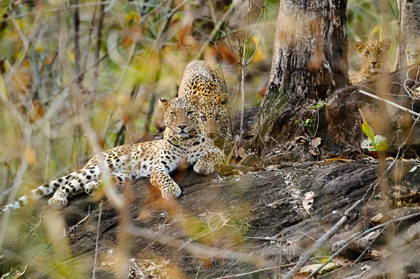 leopard with cubs at kanha