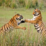 Tigers Playing in Tadoba Andhari Tiger Reserve