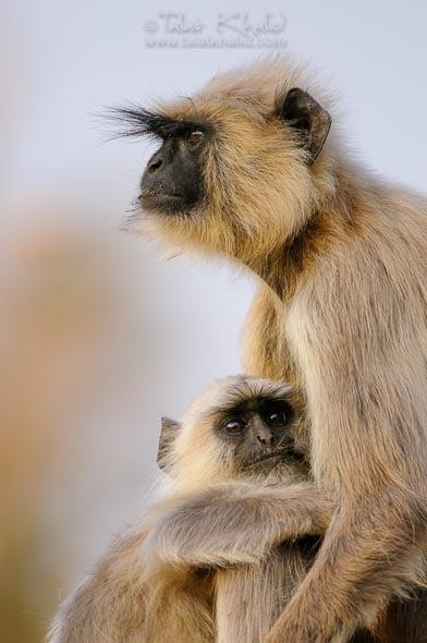 langur mother baby