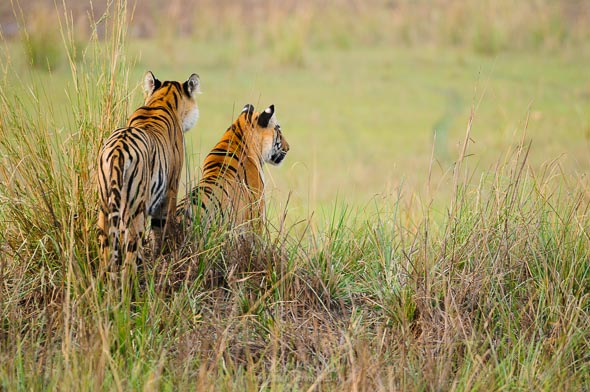 Tiger sisters of tadoba