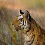 Rajbahra Tigress