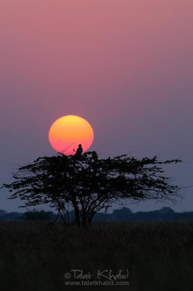Harrier sunset acacia velavadar