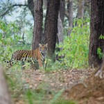 tiger cub at kanha