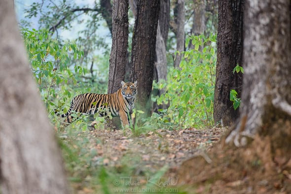 Tiger cub in kanha after rains