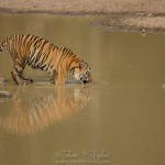 Tiger at waterhole in tadoba
