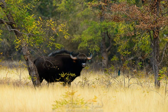 Gaur at Tadoba