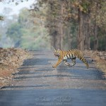 Angry Young Tigress in Tadoba