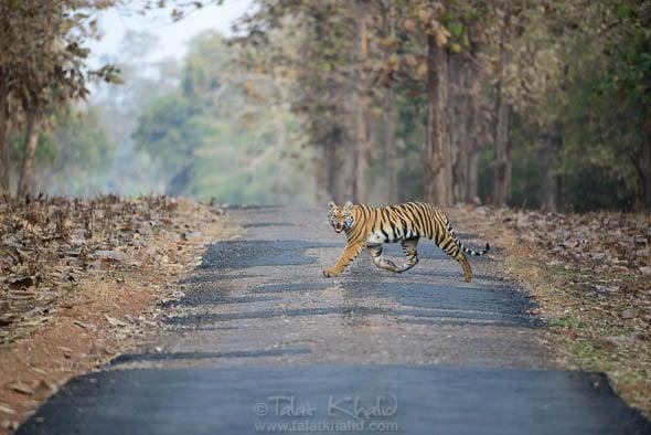 Angry Young Tigress at Tadoba