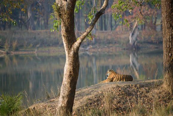 Tiger shravantal kanha