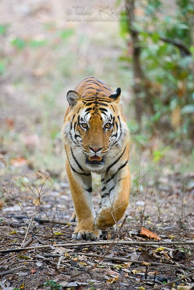 Male Tiger Eye Contact