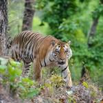 Tiger from Kanha