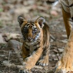 Tigress Noor with cub