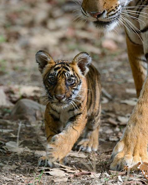 Tigress Noor with Cub at Ranthambore
