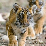 Tiger cubs of t39 Noor Ranthambore