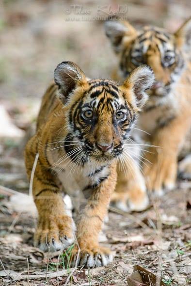 Tiger cubs of t39 Noor Ranthambore