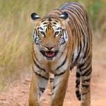 pandarpuni tigress from tadoba