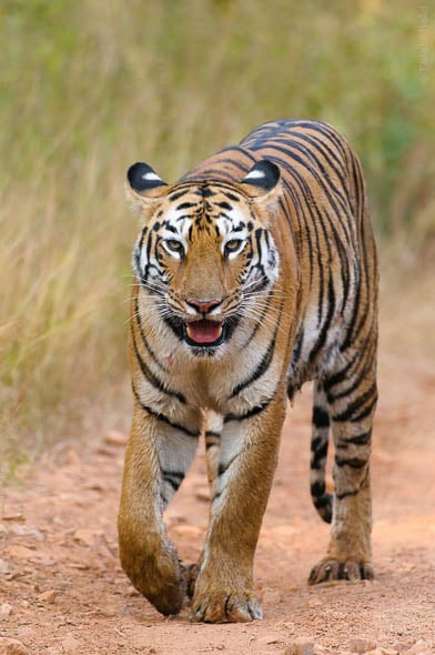 Pandarpuni Tigress of Tadoba