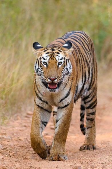 Pandarpuni Tigress of Tadoba