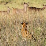 Tigress watching sambar deer